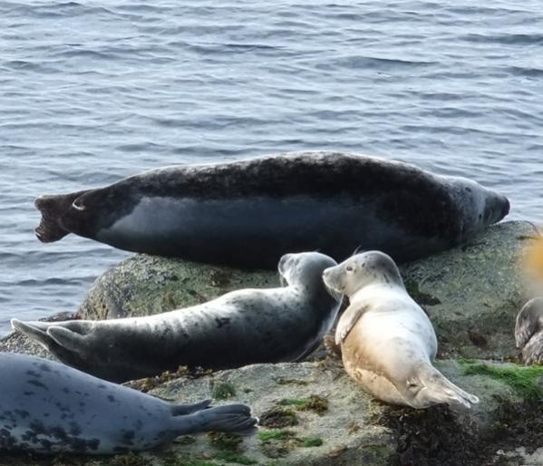 Grey seals on Copinsay, Orkney