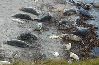 Seals on Copinsay