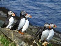 Puffin gathering