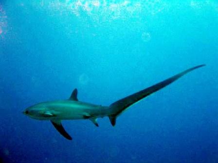 Thresher Shark Red Sea