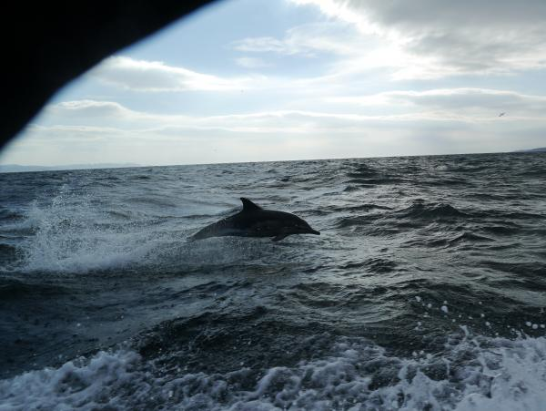 DOLPHINS AT OBAN