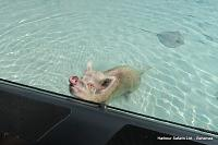 Hi There!  We visit the Swimming Pigs in the Bahamas.