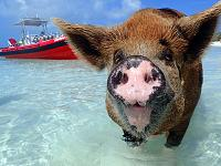 Swimming Pigs of Exuma - in DECEMBER!
