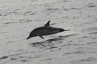 Common Dolphin coming to escort near Mizzen Head