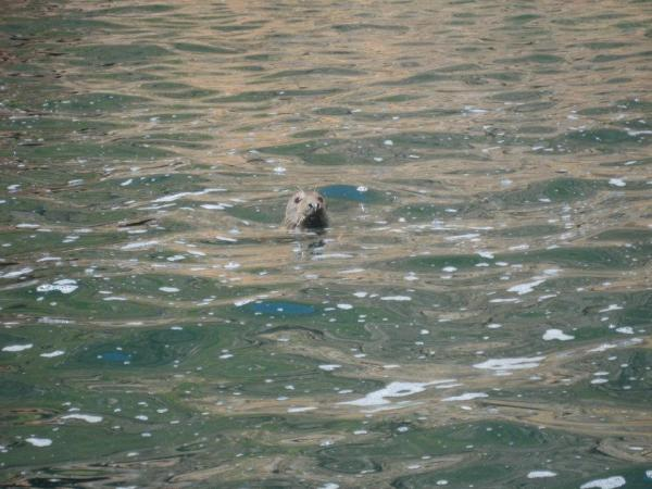 Inquisitive seal in sheltered cove.