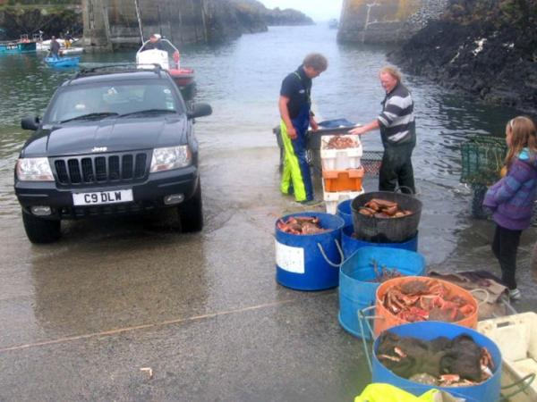 Porthgain launch - Spider Crabs being landed