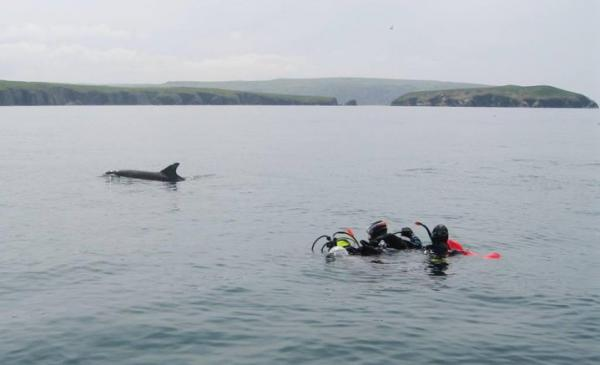 Bottlenose approaching divers after surfacing from a drift - Cardigan Island in background